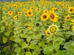 Sonnenblumen im Feld